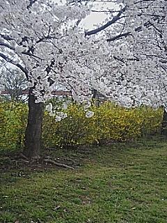 さくら草公園の桜